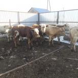 Симменталы бычки и телочки, Тюмень