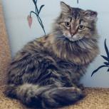 Молодая сибирская кошечка ищет дом!, Тюмень