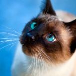 Голубоглазый сиамский котик ищет семью, Тюмень