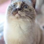 Котёнка Сьюзи необычной внешности ищет семью, Тюмень