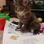 Сибирские котята ручные приучены, Тюмень