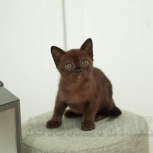 Бурманский котик-Патрик, Тюмень