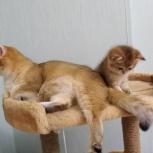 Котята золотые шиншиллы, Тюмень