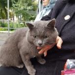 Даром котик британской породы, Тюмень