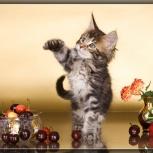 Котята Мейн кун из питомника Golden Glory, Тюмень