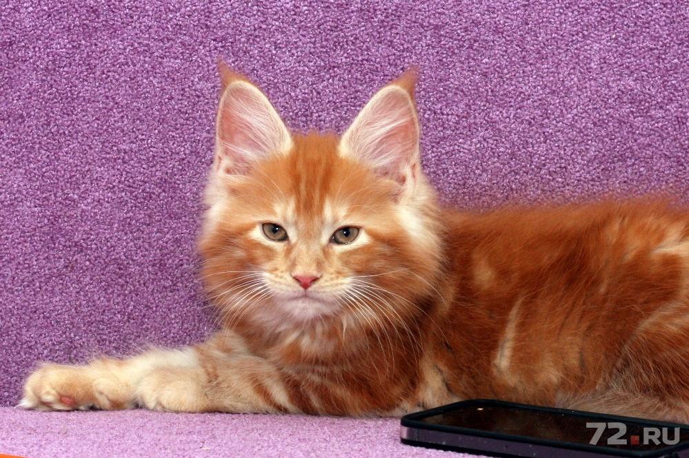 Котята мейн кун тюмень